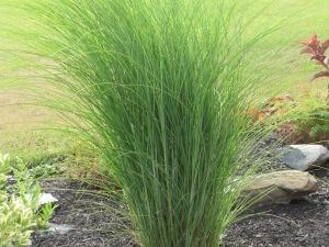 Oatmeal Grass