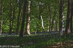 Ashridge Woods Bluebells Herts