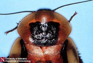 Uni of Nebraska Roach